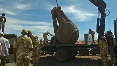 Kenya : déplacer les éléphants pour éviter les conflits avec les agriculteurs