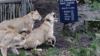Lions rescued from Syria and Iraq find new home in South Africa
