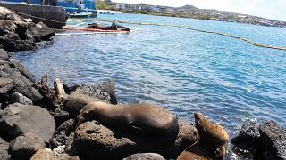 Image: Seals are seen at the site where a barge carrying 600 gallons of die