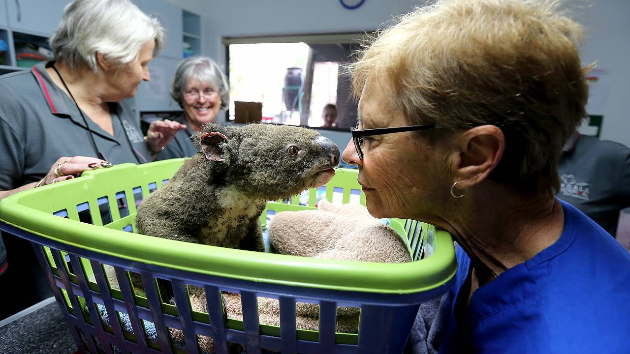 Image: Koala Hospital Works To Save Injured Animals Following Bushfires Acr