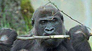 En République du Congo, un Gorille et son nouveau-né sont menacés