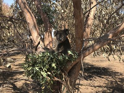 A koala munches on fresh leaves provided by volunteers at Hanson Bay Wildlife Sanctuary.