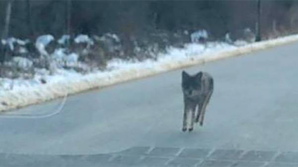 Image: Coyote in New Hampshire