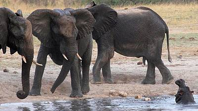 """Le Botswana accuse les Etats-Unis d""""'encourager le braconnage des éléphants"""""""