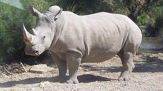 Kenya : réactions après la mort de Sudan, le dernier mâle rhinocéros blanc du Nord