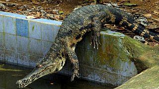 Un crocodile abattu après avoir créé la panique dans une ville du Zimbabwe