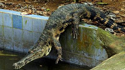 'Terrorist' crocodile killed for blocking hospital entrance in Zimbabwe