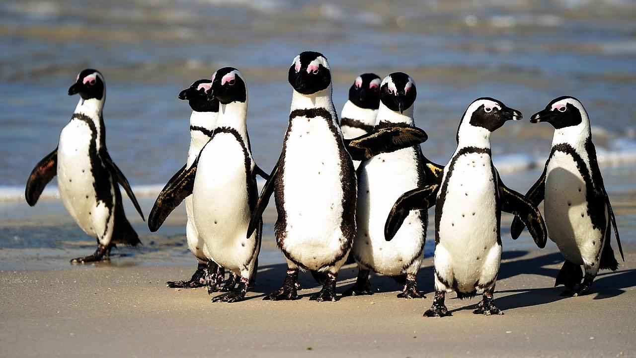 African penguins between Simon's Town and Cape Point, near Cape Town, in So