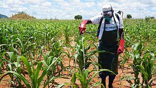 Malawi : les agriculteurs luttent contre les ravageurs des cultures, cause de la baisse de la production