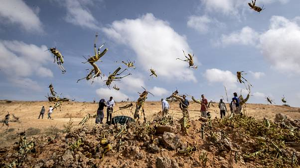 Image: Young locusts jump in the air near Garowe, Somalia, on Feb. 5, 2020.