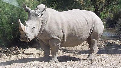 Kenya : un mémorial pour « Sudan », le dernier rhinocéros blanc mâle