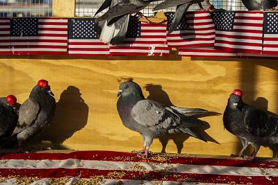 A  group calling itself P.U.T.I.N., Pigeons United To Interfere Now, is claiming responsibility for the MAGA-hat-wearing pigeons in Las Vegas. One of the pigeons was adorned with a Donald Trump-style wig.