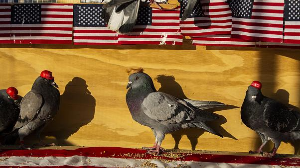 Image: MAGA-hat-wearing pigeons Las Vegas