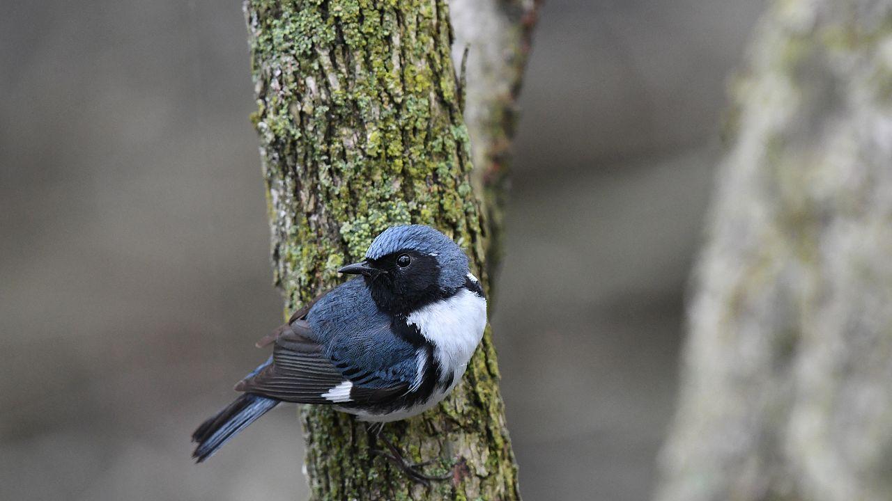A black-throated Blue Warbler