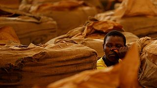 HRW warns of serious health risks facing Zimbabwe's tobacco workers and children