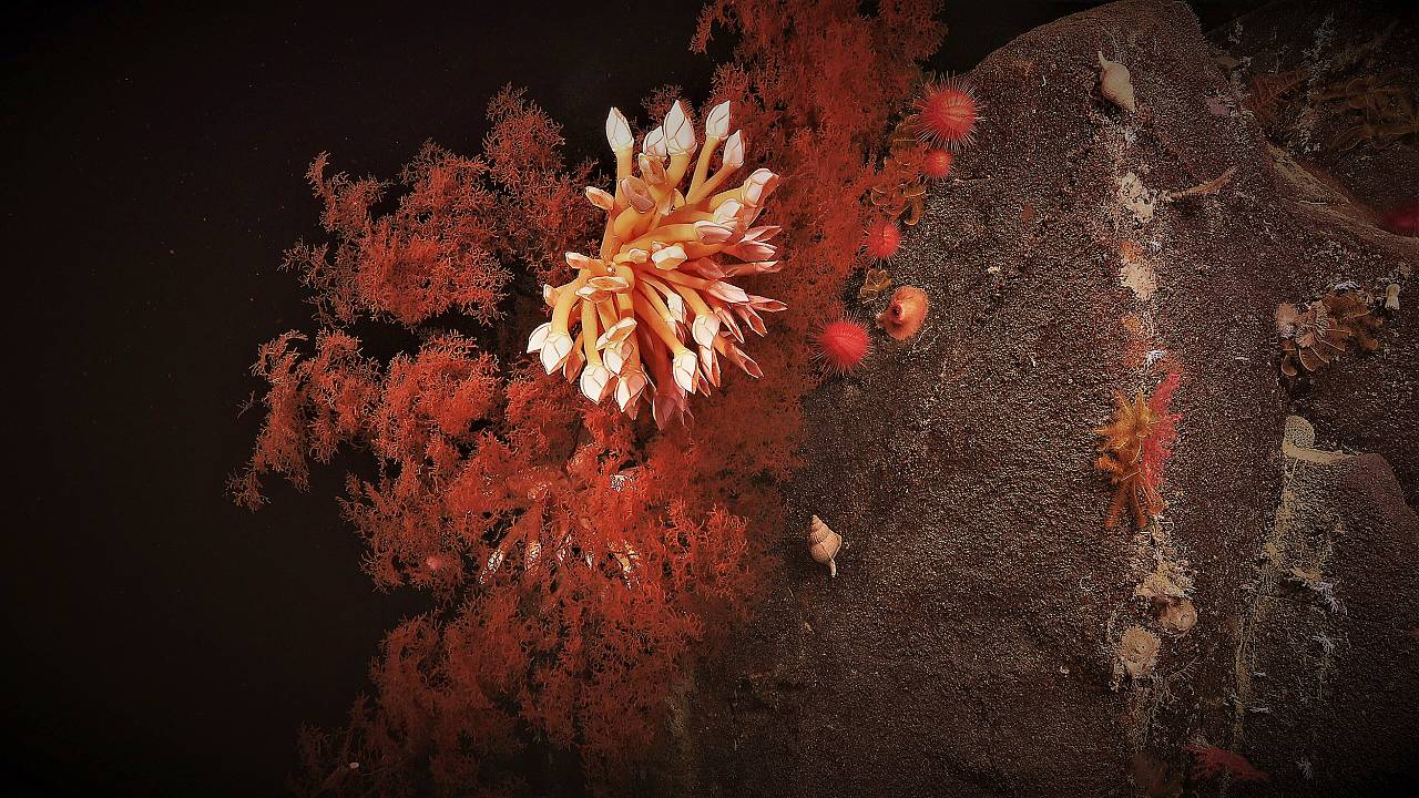 Coral blooms in the abyssal depths of Australia's southern coast.