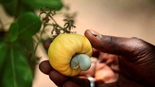 Filière anacarde en Côte d'Ivoire : le coup de pouce de la Banque mondiale