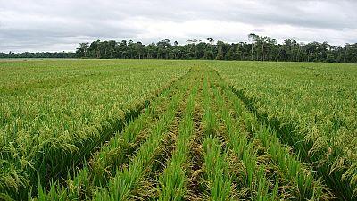 Le Sénégal atteint une production de plus d'un million de tonnes de riz