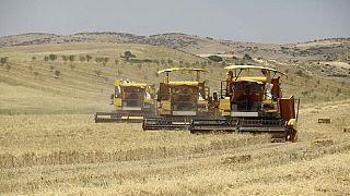 Algérie : une légère augmentation de la production céréalière envisagée