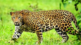 Ugandan authorities hunt for leopard that ate 3 year old boy