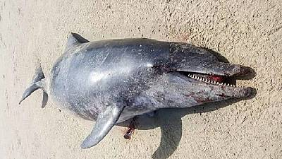 Dead dolphin on Gambian beach blamed on Chinese factory pollution