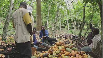 Filière cacao en Afrique : la transformation reste le grand défi