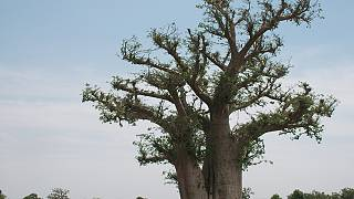 Attention, les baobabs en Afrique se meurent !