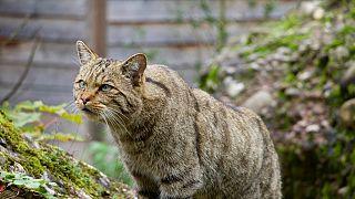 En Australie, les chats errants font des ravages parmi les reptiles