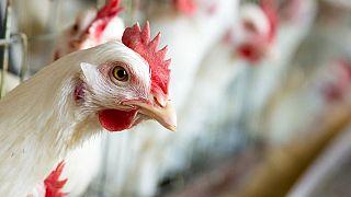 Ghana reports outbreaks of H5 bird flu on farms