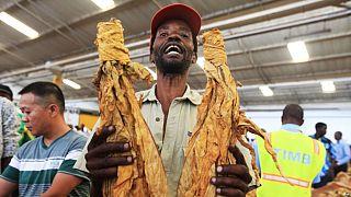 Récolte-record de tabac par les agriculteurs zimbabwéens