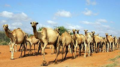 Kenya to employ camels in policing Somali border, fighting banditry