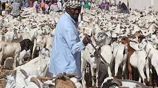 Saudi Arabia rejects 27,000 sheep and goats from Somalia