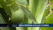 Kenya relies on avocado exports