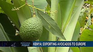 Kenya relies on avocado exports