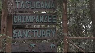 Inside Sierra Leone's chimpanzee sanctuary