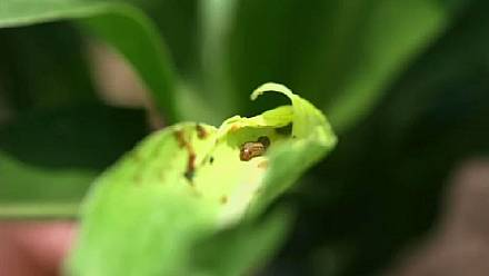 Scientists search for sustainable solutions to stop the fall armyworm