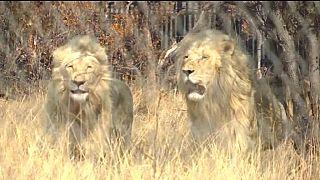 Insémination artificielle : les premiers lionceaux sont nés