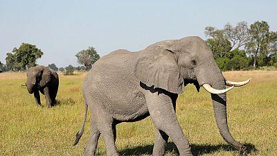 De l'ivoire clandestin d'Afrique vers la Chine