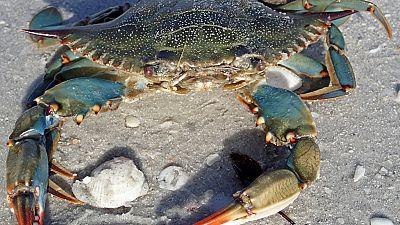 Tunisia fishermen cash in on blue crabs