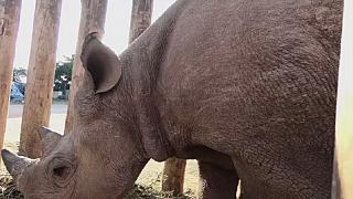 Chad: death of black rhinos reintroduced in May