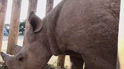 Chad: death of black rhinos reintroduced in May