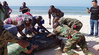 [Photo] Congo : à Pointe-Noire, des éléments de la garde présidentielle sauvent une tortue marine