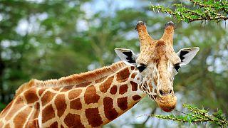 Girafes: des drones détecteurs pour surveiller les espèces menacées