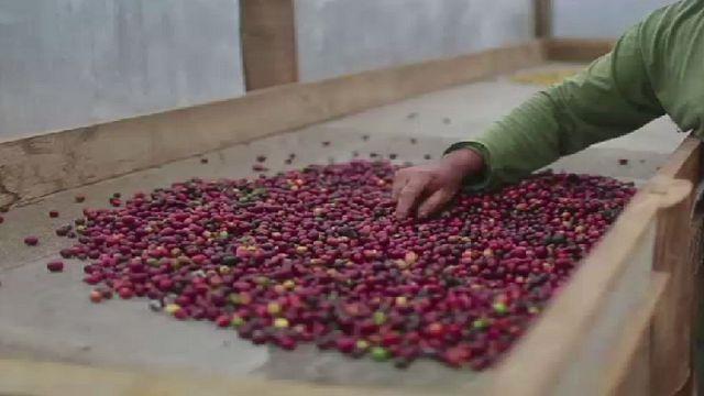 Production de café : l'Ouganda vise grand