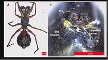 Chinese scientists discover spider species that breastfeed their babies
