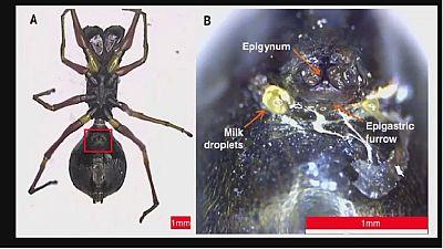 Les araignées sauteuses: cette espèce qui nourrit ses petits au lait maternel