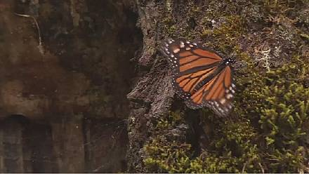 Monarch butterflies migrate from Canada to Mexico