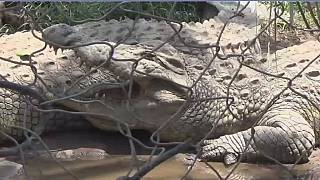 Burundi – Crocodiles: l'État veut repeupler ses parcs en mettant sur pied de nouveaux élevages