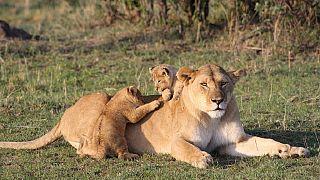 Kenya : des Jeux Olympiques Massaï pour sauver les lions