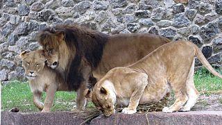 USA : une jeune femme tuée par un lion dans un parc